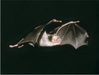 Novel hemotropic mycoplasmas are widespread and genetically diverse in vampire bats