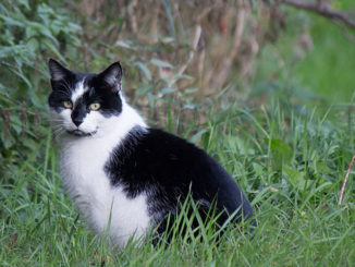 Disentangling the link between supplemental feeding, population density, and the prevalence of pathogens in urban stray cats