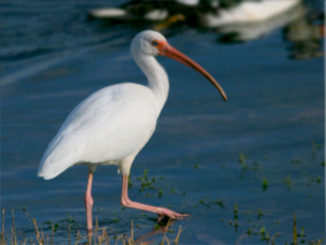 Assessing the contributions of intraspecific and environmental sources of infection in urban wildlife: Salmonella enterica and white ibis as a case study