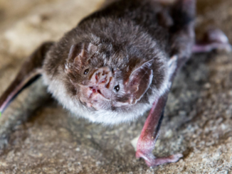 Leukocyte profiles reflect geographic range limits in a widespread Neotropical bat