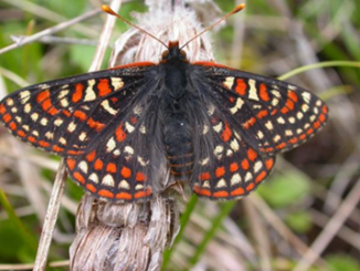 Plant Pathogen Invasion Modifies the Eco-Evolutionary Host Plant Interactions of an Endangered Checkerspot Butterfly